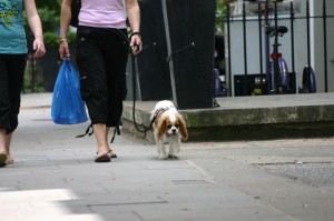 cavalier king charls spaniel, London, w9, June2009