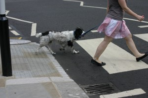 english springer spaniel on zebla crossing1